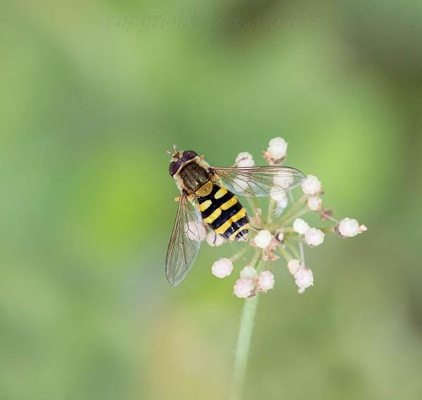 Hoverfly. by peterjones