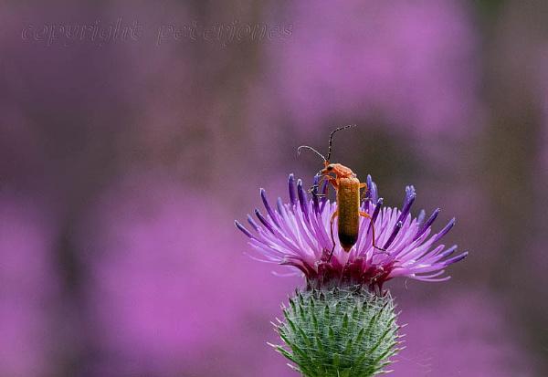 Soldier Beetle in a Magenta sea. by peterjones