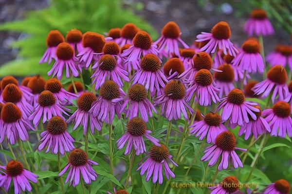 Cone Flowers by leonieholmes