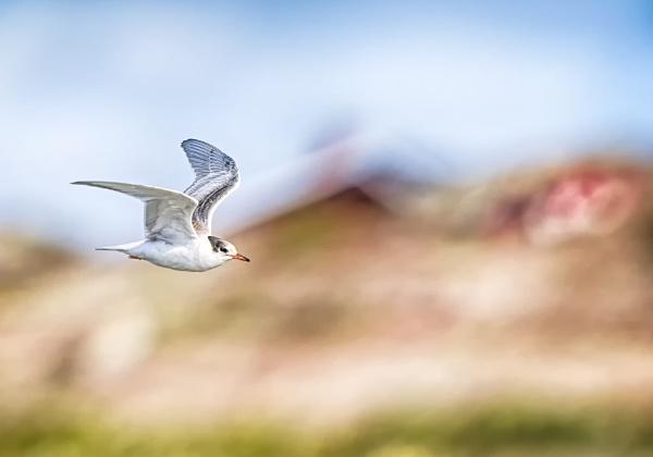 Tern in Norrskär by hannukon