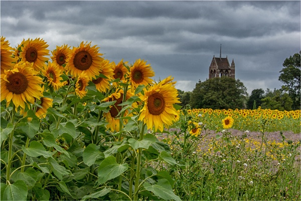 Sunflowers by dven