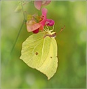 Brimstone. by bricurtis