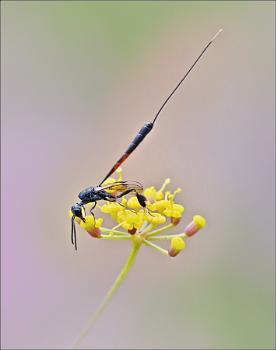 Wasp #
