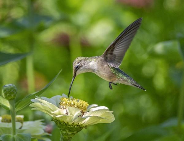 Ruby-throated Hummingbird (female) by TDP43