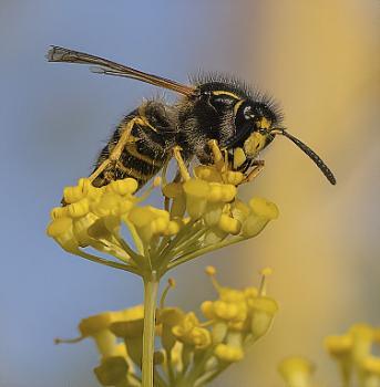 Wasp on Fennel flower