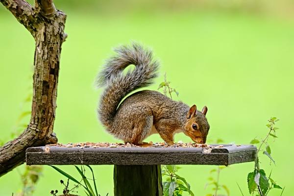 Grey Squirrel by photographerjoe