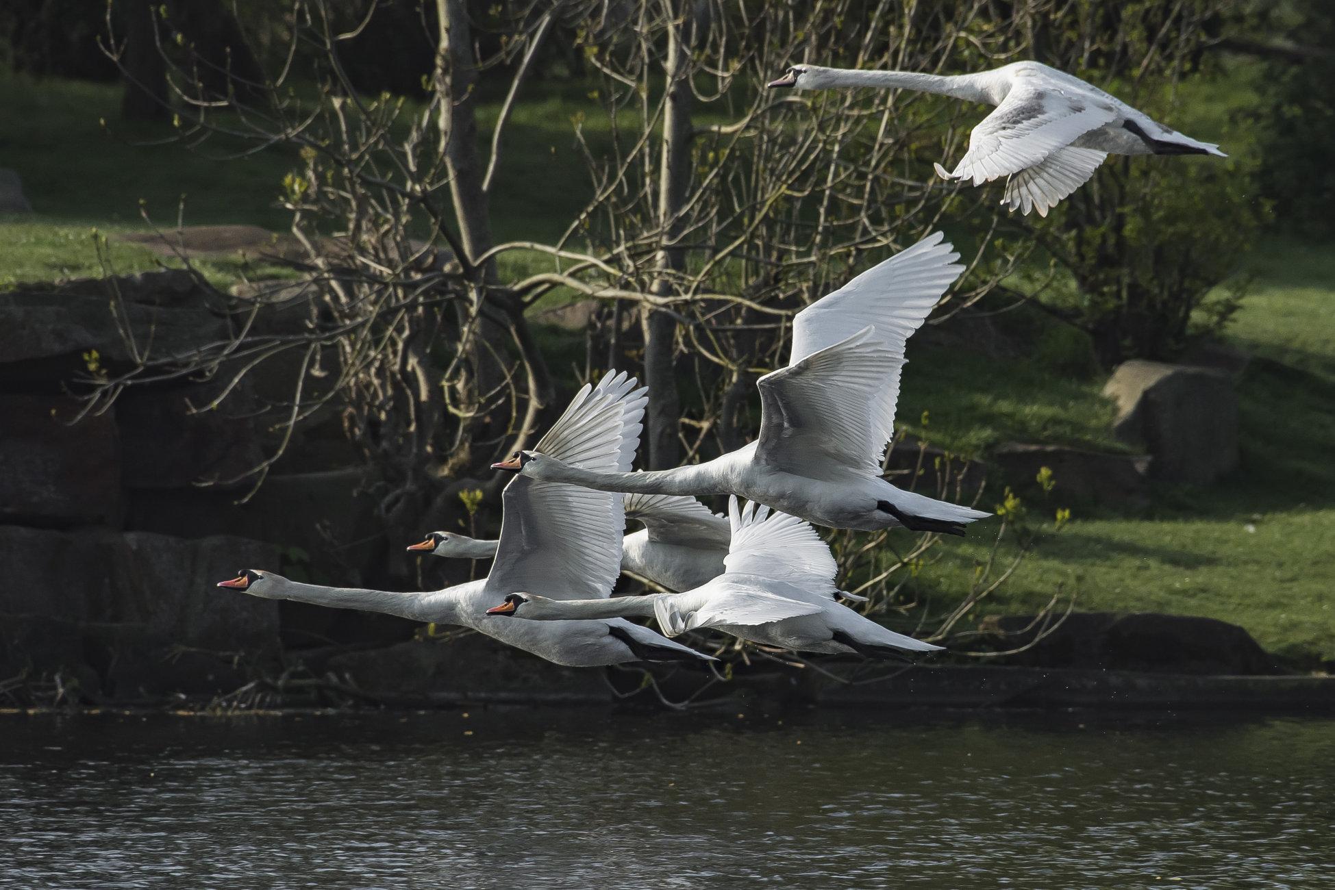 Racing Swans