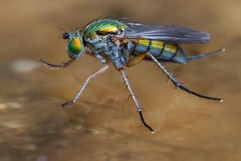 A Long- legged Fly, walking on water.