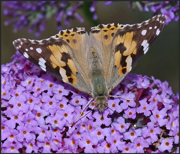 Painted Lady Nectaring on a Buddleia .. by Badgerfred
