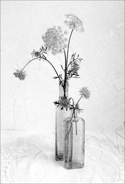 Mono - carrot flowers by helenlinda