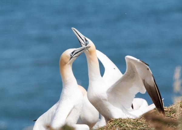 Gannets @ Bempton by stevegilman