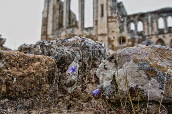 Rievaulx Abbey wild flower by stevegilman