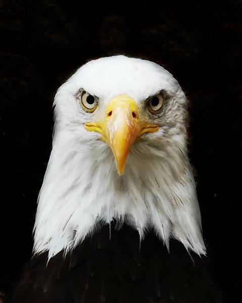 Eagle by neilfuller
