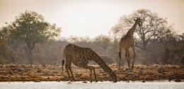 Vulnarable Giraffe