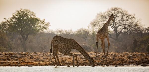 Vulnarable Giraffe by rontear