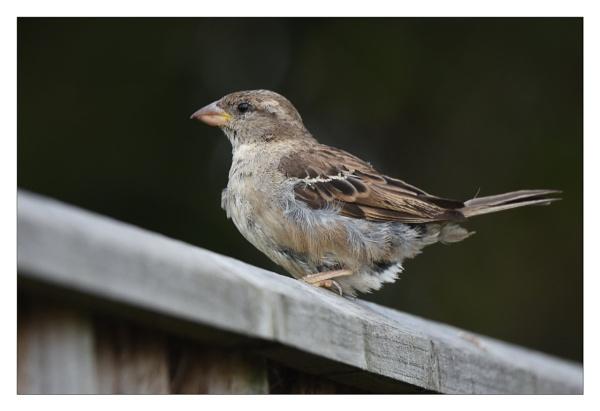 scruffy sparrow by alant2