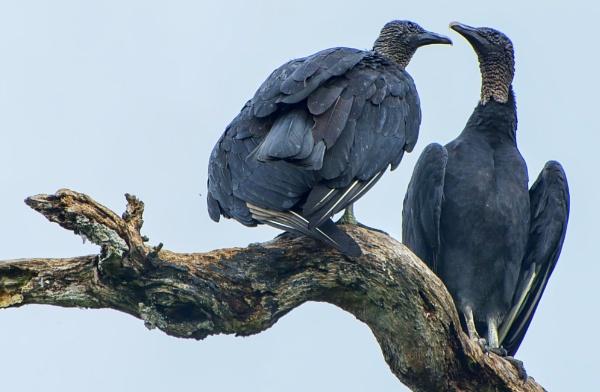 Black Vultures by jbsaladino