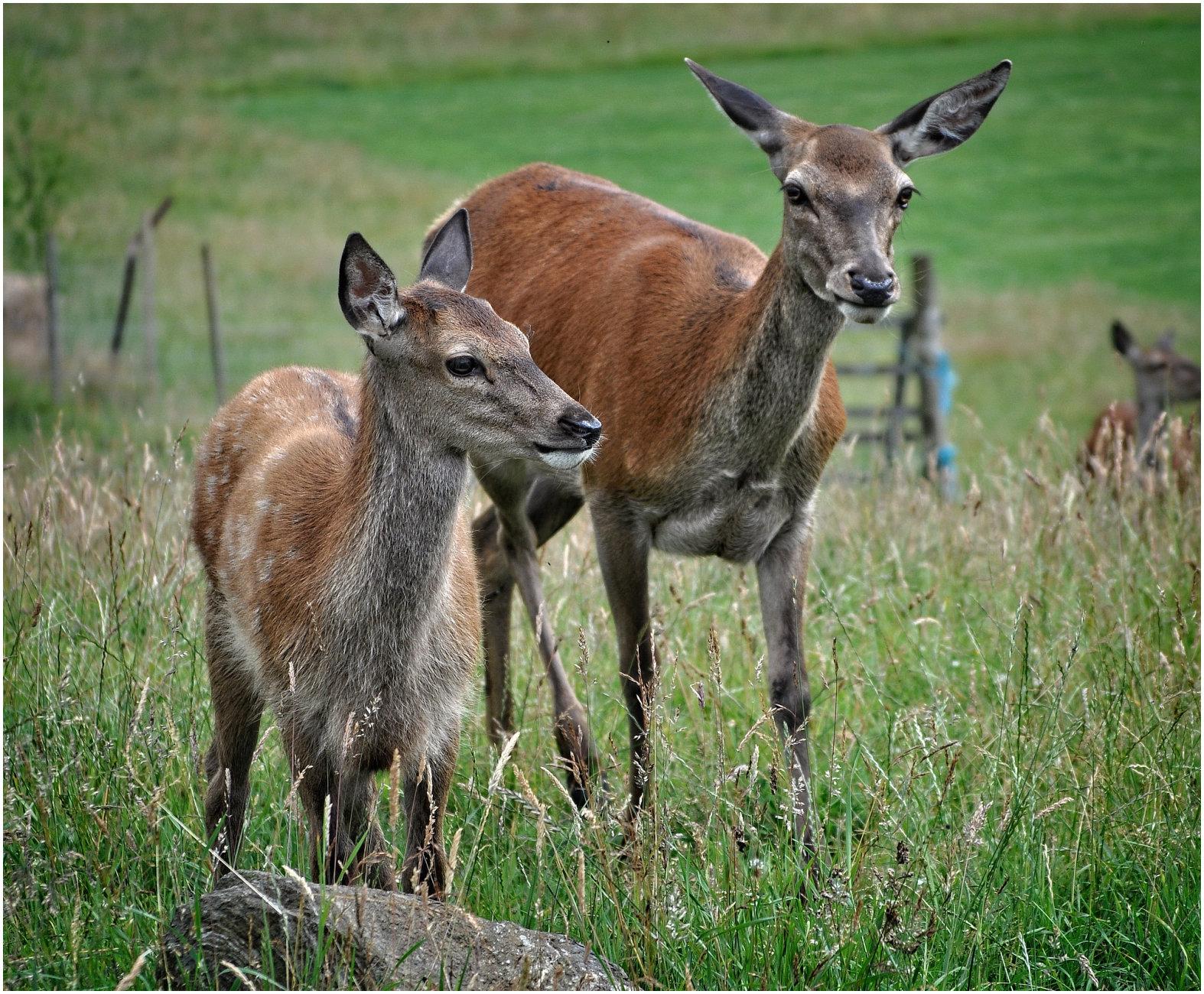 Red Deer in the Highlands