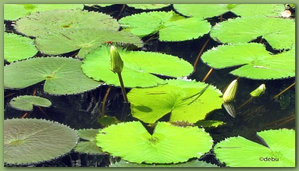 Lotus water lilies by debu