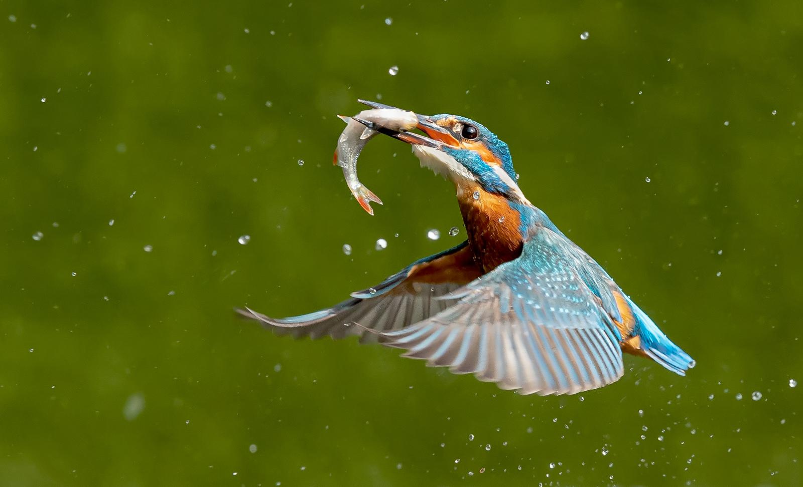 Kingfisher with Rudd