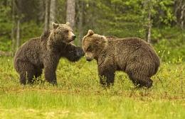 Brown bears having a lovers tiff