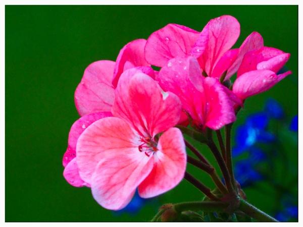 PINK FLOWER. by kojack