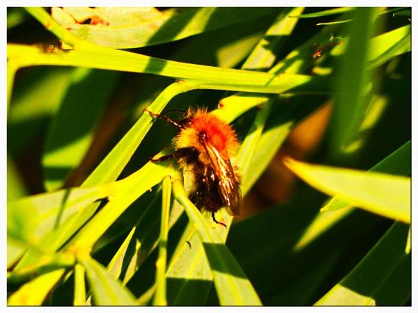 HONEY BEE. by kojack
