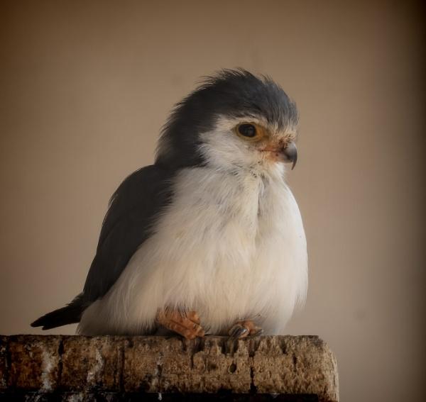 Dwarf Falcon by tralfamadorean