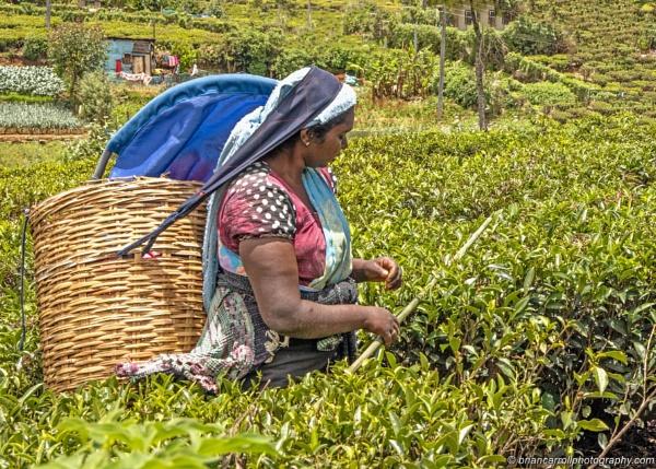 "Tea Picker, Lovers Leap\"" Tea plantation, Nuwara Eliya, Sri Lanka by brian17302"