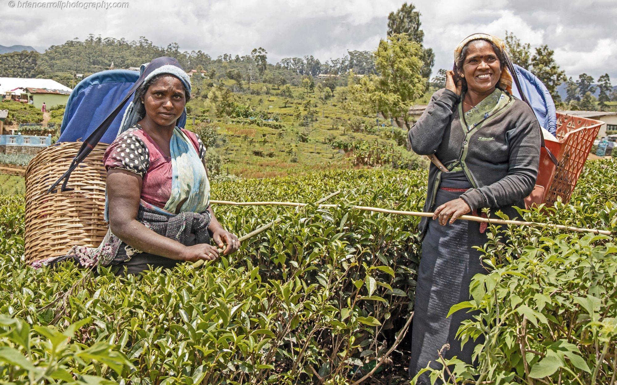 """Tea Pickers, Lovers Leap"""" Tea plantation, Nuwara Eliya, Sri Lanka"""