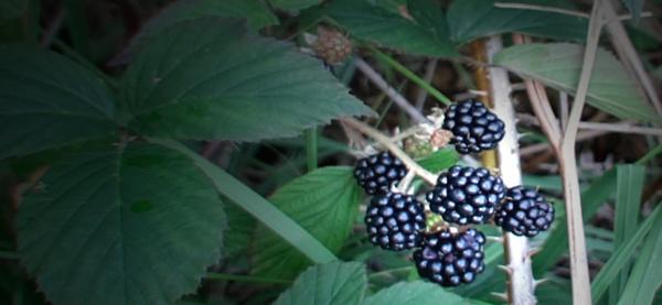 Blackberries by carol01