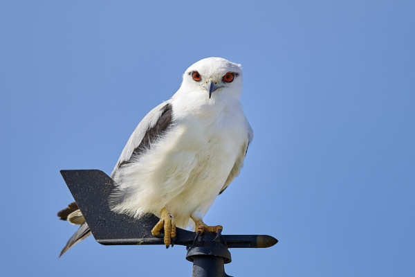 Black Shouldered Kite by Lance_B