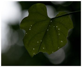 Stary Leaf