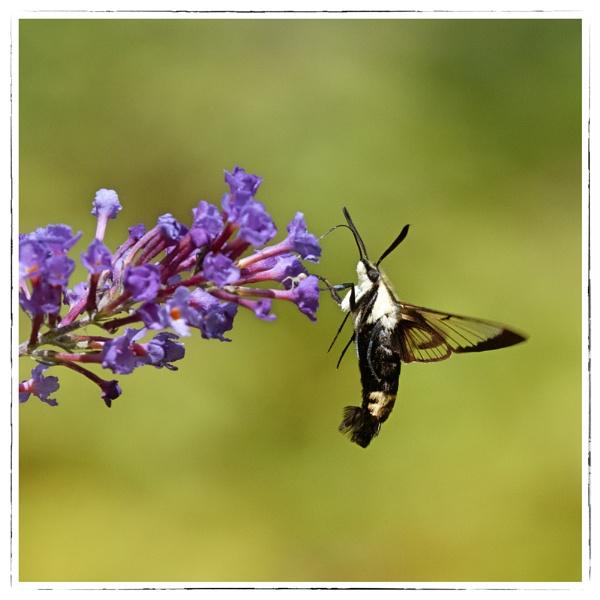 Hummingbird Moth by taggart