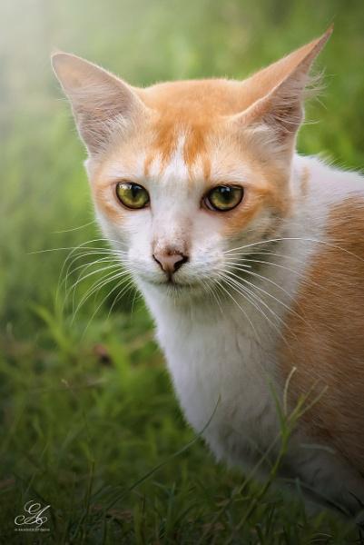   Portrait of a a Cat   by AkashdeepSaha