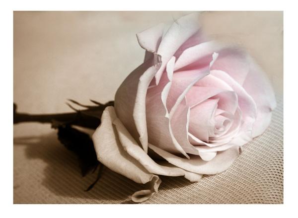 Antique Rose by Dennie