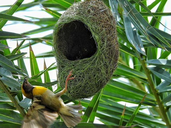 Weaving bird by gautamc