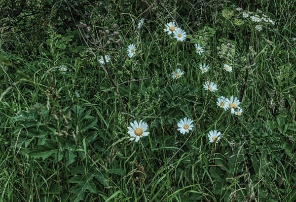 Ox-Eye daisies by BillRookery