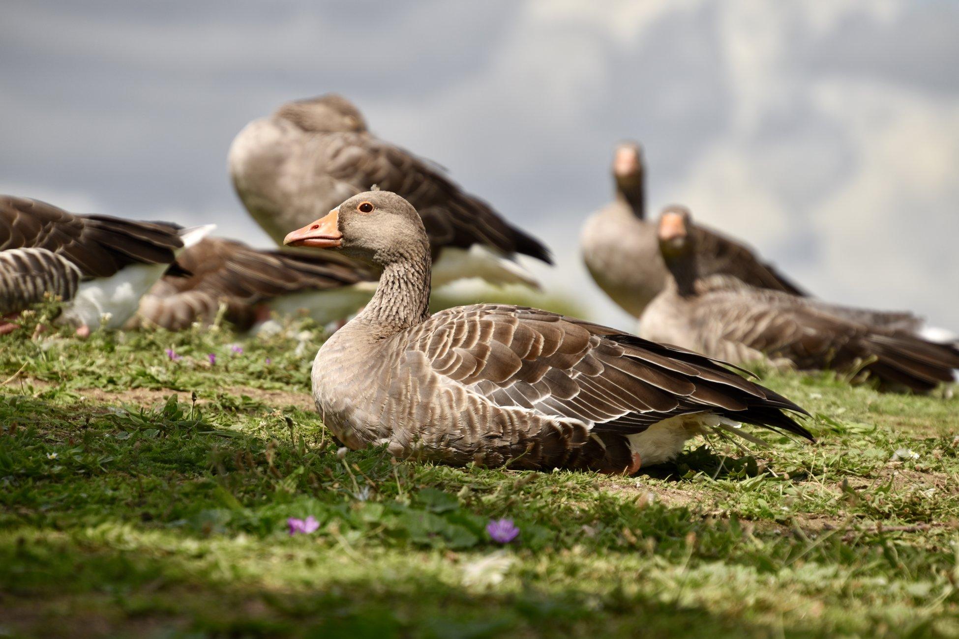 Goose got an eye on you