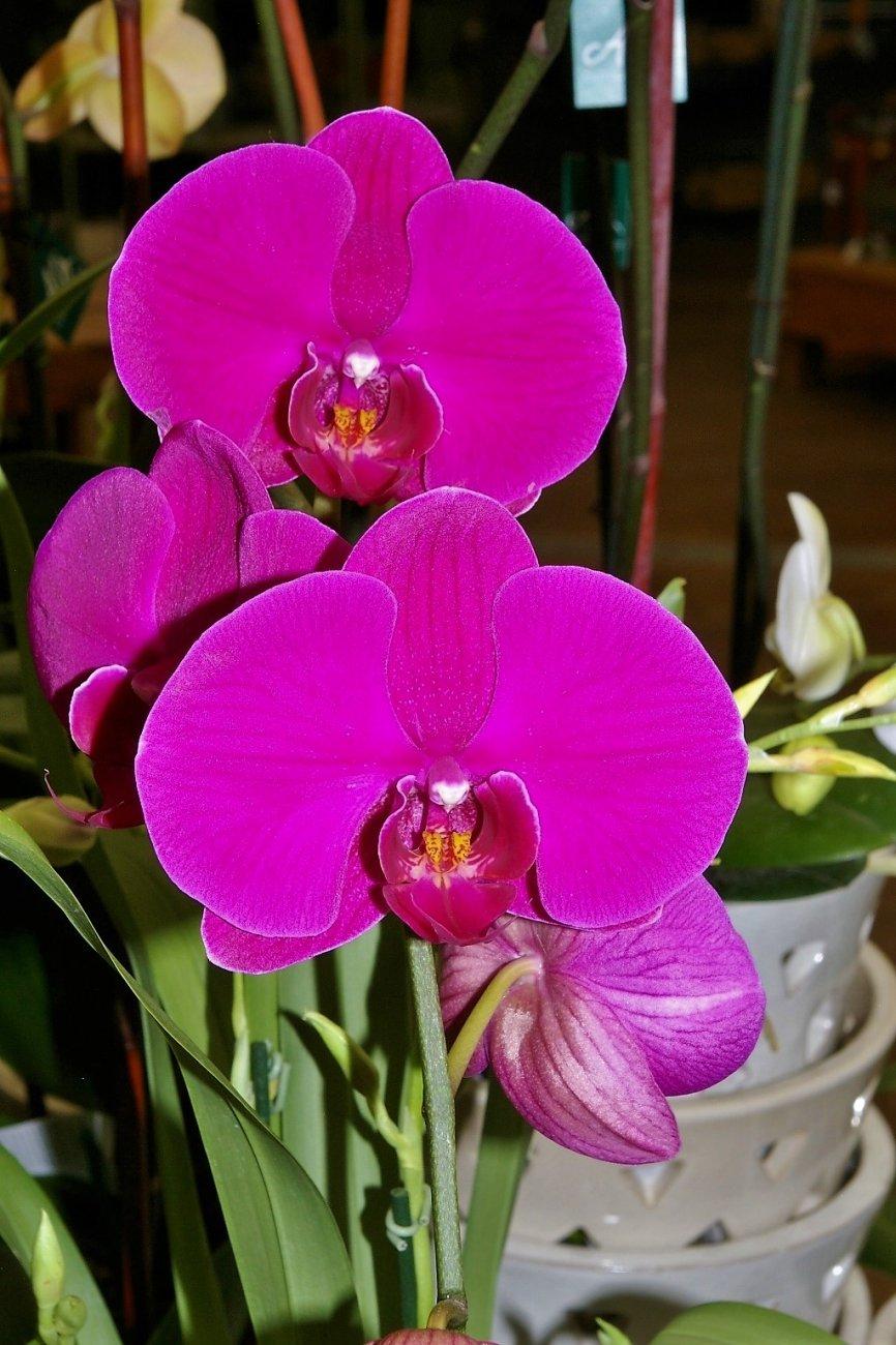Beautiful Deep Purple Orchids.
