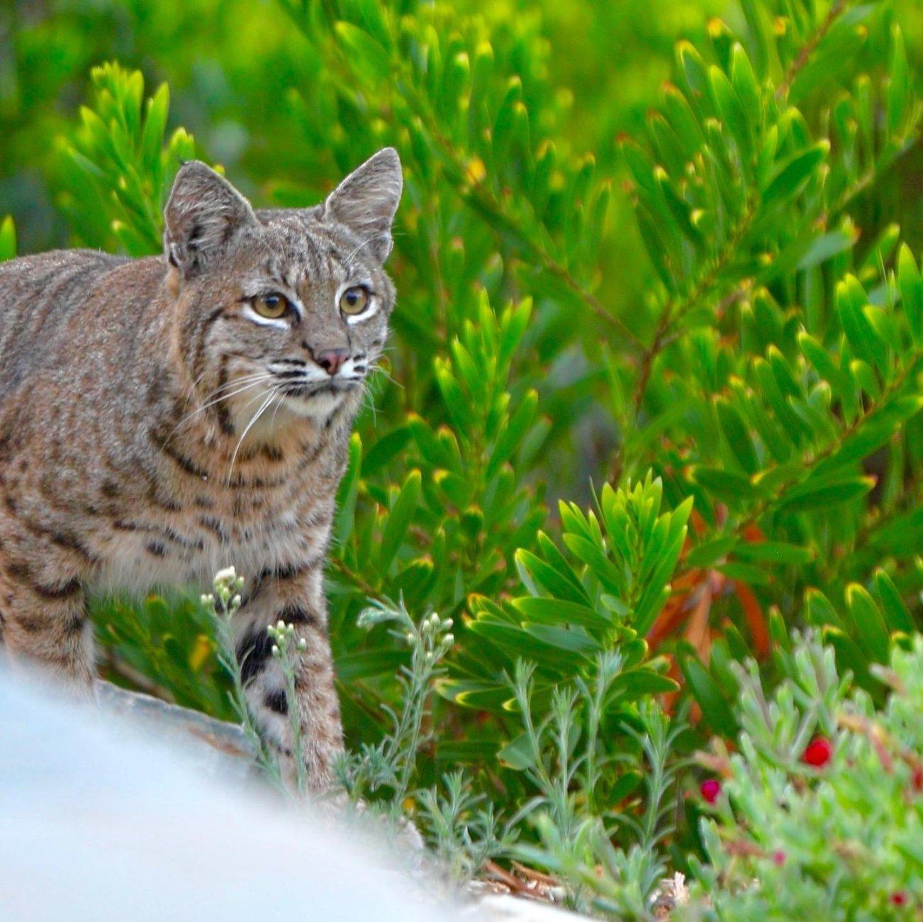 Bobcat in the garden