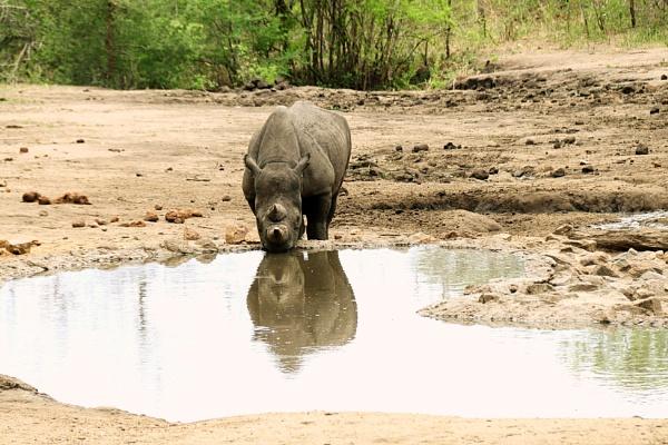 Rare sighting Two horned Black Rhino, Malawi. by ranjit1945