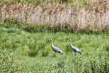 Common crane, 2019-08-20