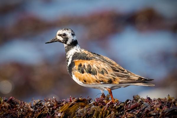 Ruddy Turnstone On Seaweed by HoiPolloi
