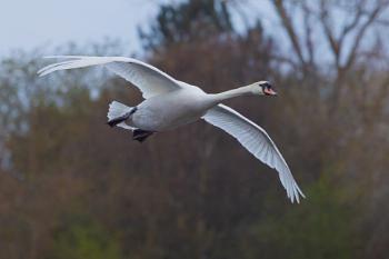 Swan Glide