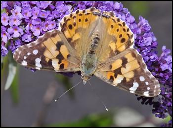 Painted Lady - Vanessa cardui ..