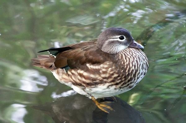 Juvenile Mandarin Duck by Silverzone