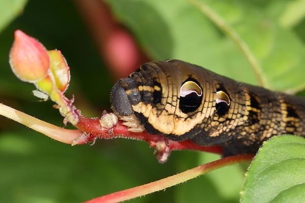 Elephant hawk-moth: caterpillar by colin beeley