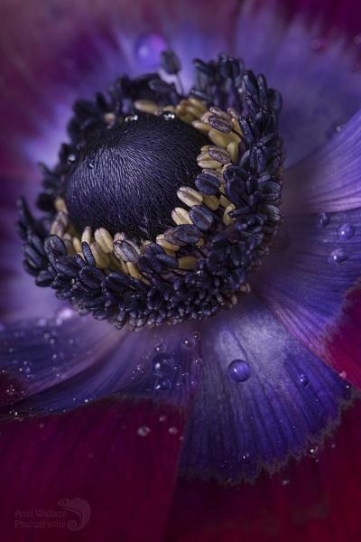 Anemone bordeaux macro by Angi_Wallace