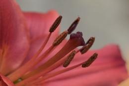Photo : Newly opened lily